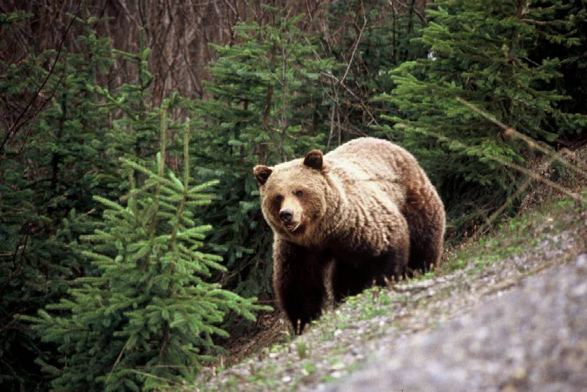 Ndp Government Ends Grizzly Bear Hunting In B C