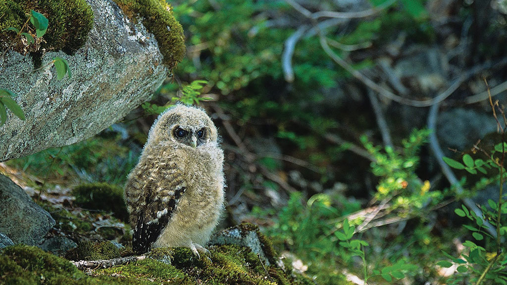 Spotted Owl chick | Photo © Jared Hobbs