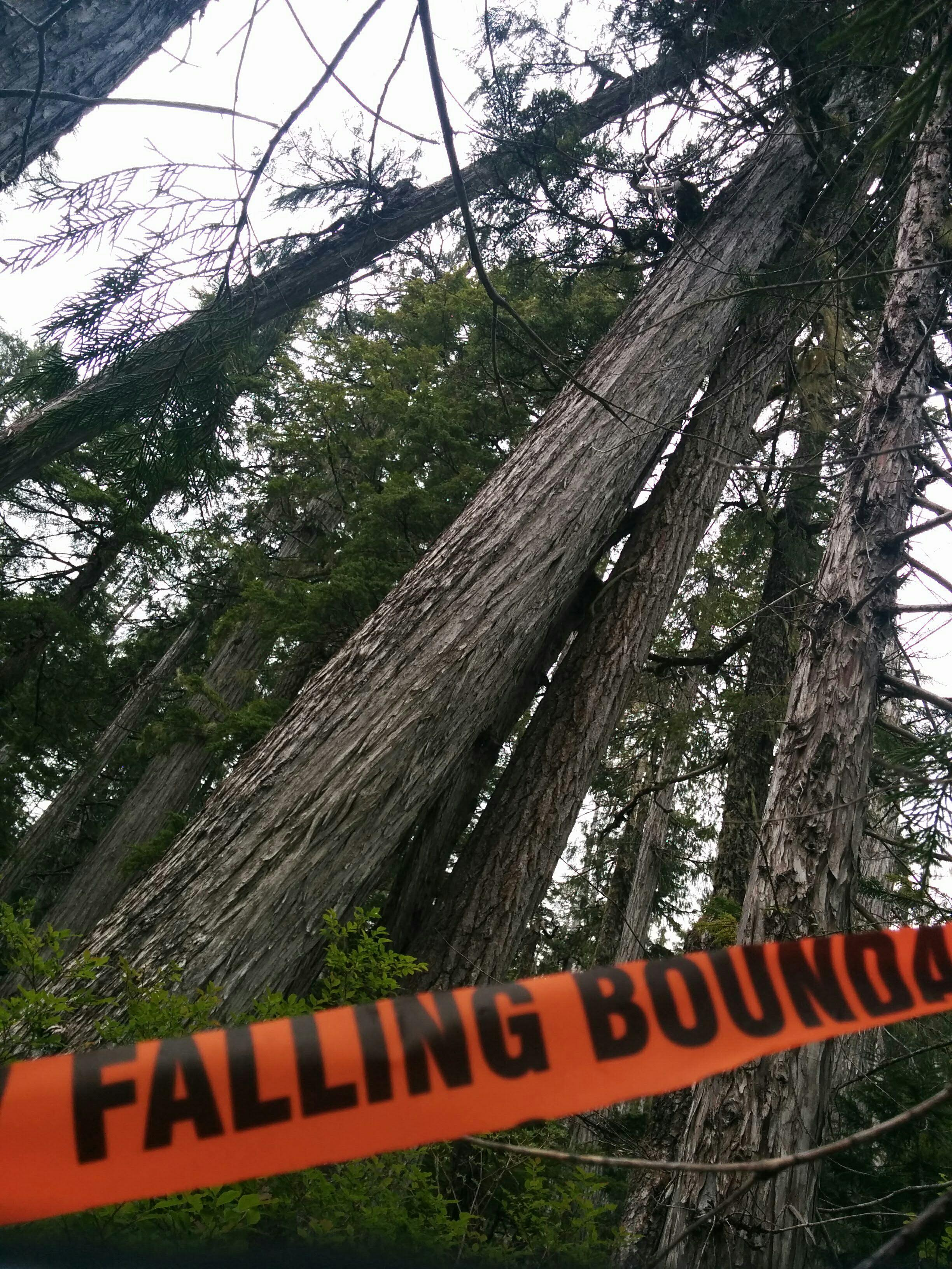 Ancient trees slated for logging by BCTS in Schmidt Creek