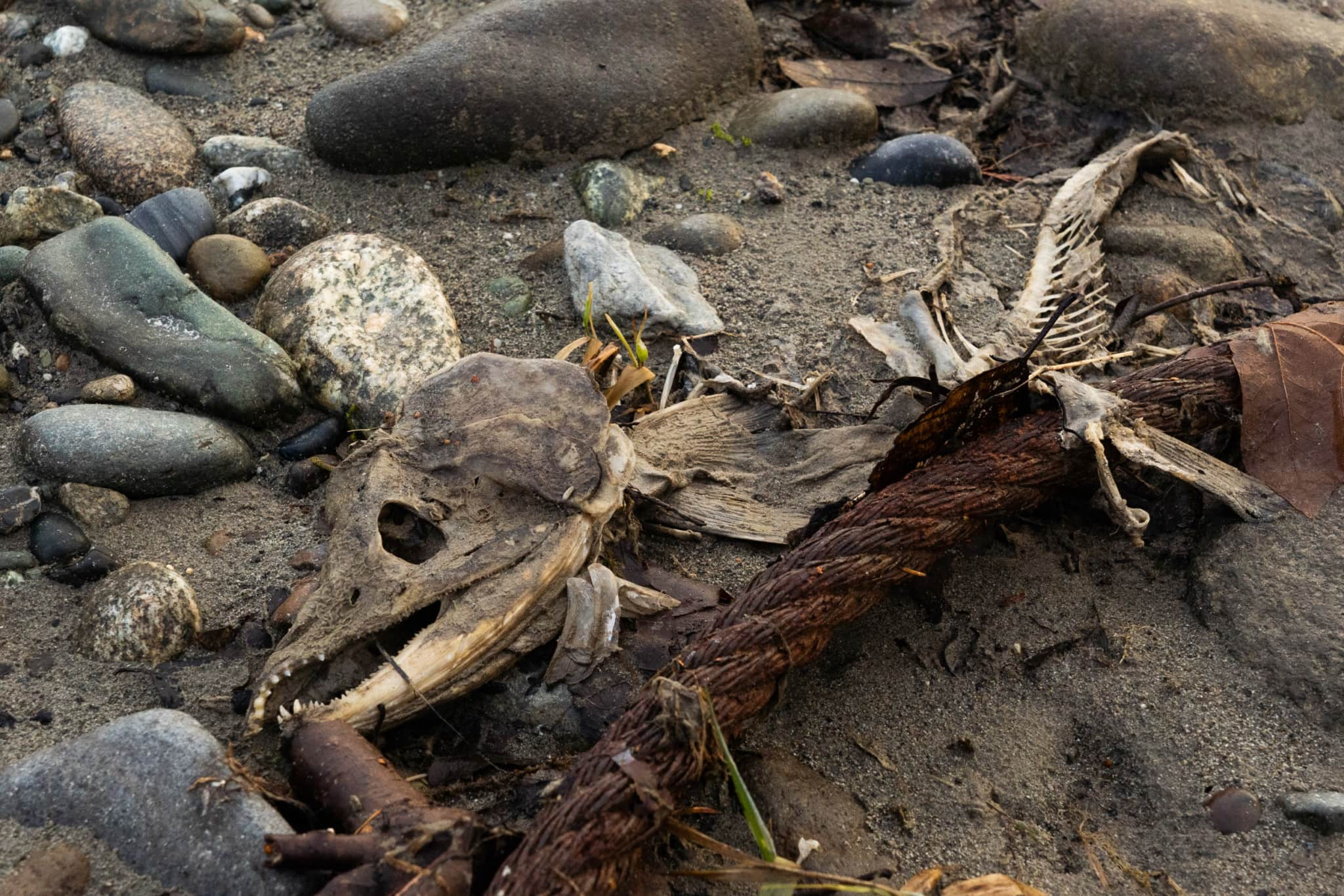 The remains of a spawned-out salmon on the sandy bank of the Skagit River. The metal cord is a remnant of former logging activities in the area. Photo: Fernando Lessa / The Narwhal