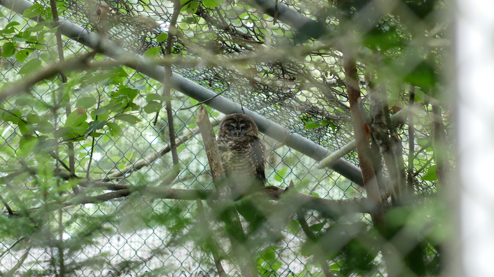 Oregon, a northern spotted owl, in his aviary at the breeding facility. Photo: Carol Linnitt / The Narwhal