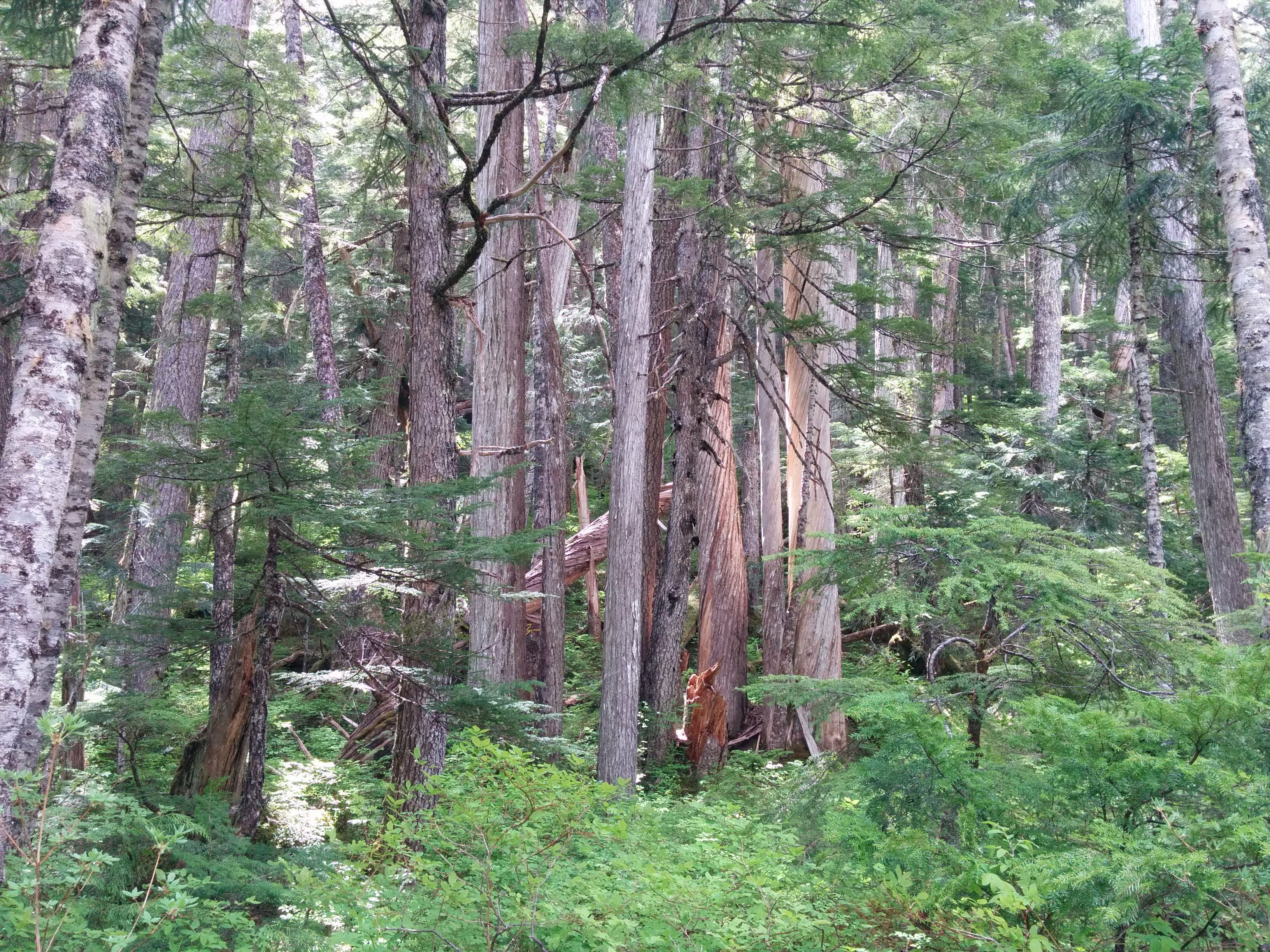 Old-growth forest slated for logging by BCTS in Schmidt Creek.