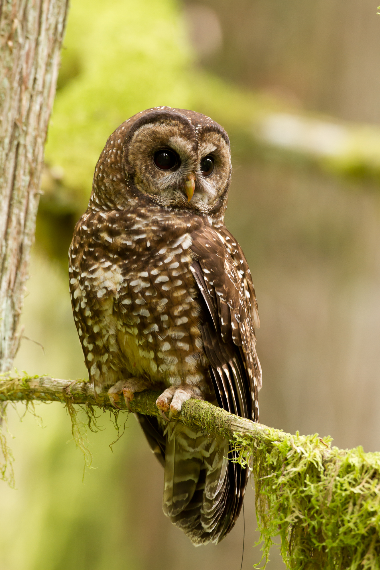 A juvenile spotted owl takes up temporary residence on its dispersal, Cayoosh Creek near Lillooet, B.C. Photo: Jared Hobbs