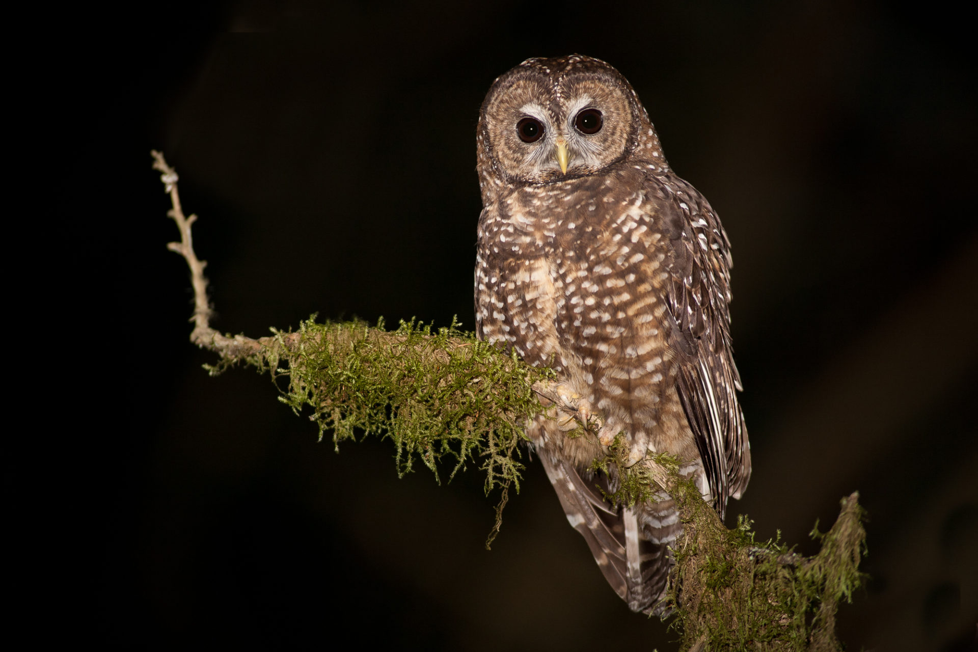 A Northern Spotted Owl, strix occidentalis caurina, in southern B.C. Photo: Jared Hobbs