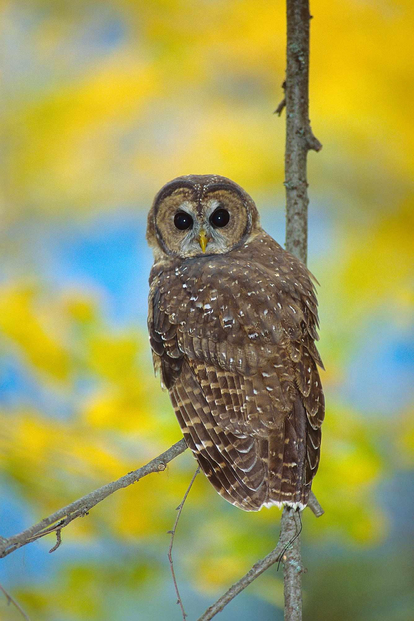 An adult female Northern Spotted Owl found in a nesting stand near Hope, B.C. Photo: Jared Hobbs