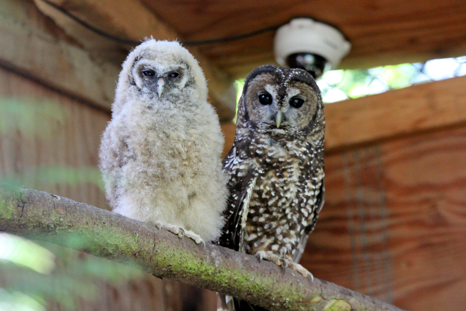 A spotted owl and youngster at the breeding facility. Photo: Northern Spotted Owl Breeding Program