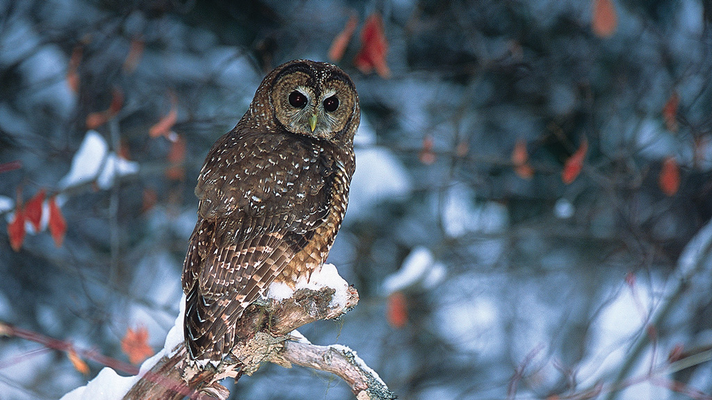 Spotted Owl | Photo ©Jared Hobbs