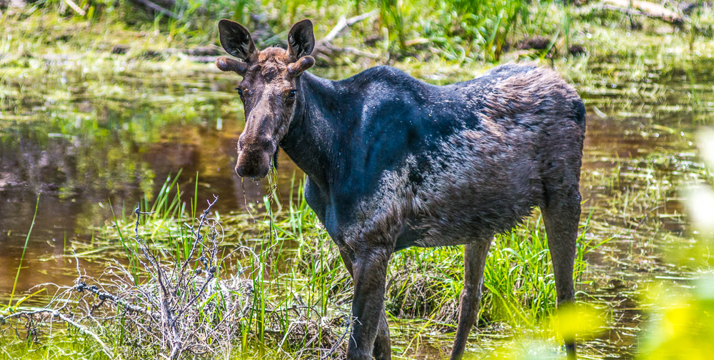 Moose in Nopiming Provincial Park near area bulldozed for mineral exploration (Eric Reder).