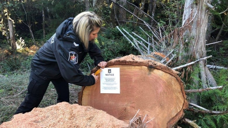Natural Resource officer Denise Blid posts a seizure notice to poached timber. Photo: B.C. Compliance and Enforcement Branch