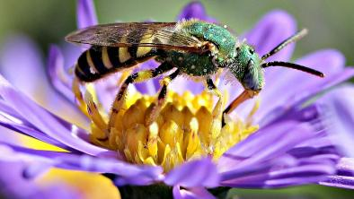 Sweat bee, native to North America. Photo: Patty O'Hearn Kickham via Flickr