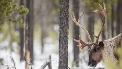 The area that was slated for logging overlapped with federally designated critical habitat for the Columbia North caribou herd, the largest herd remaining in the Kootenays. Photo: David Moskowitz
