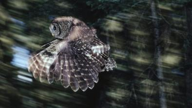 Northern spotted owls, pictured here in the Olympic National Forest in Washington State, were presumed extinct in the Canadian wild until a breeding pair was discovered in a B.C. valley slated for logging. A new provincial-federal nature agreement will work to protect species at risk in B.C., where no endangered species legislation currently exists. Photo: Bill Stevenson / Cavan