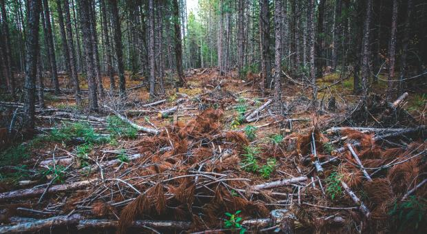 Unprotected forest in Algonquin Provincial Park