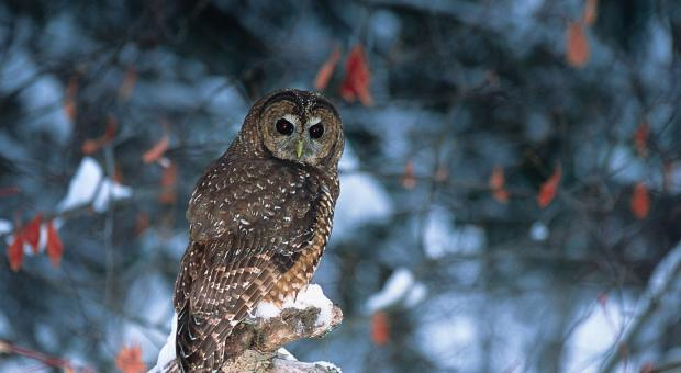 An adult northern spotted owl photographed outside the Spuzzum Valley. The species has been considered functionally extinct in B.C. although environmental organizations recently learned about the existence of a breeding pair in a B.C. valley currently being logged. Photo: Jared Hobbs