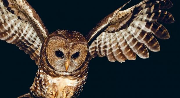 "The Government of Canada says spotted owls in Canada are ""highly vulnerable to extinction."" (Ecojustice)"