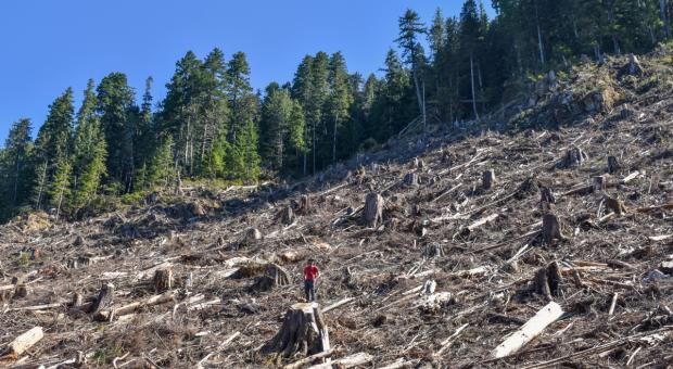Logging in of old-growth in Caycuse Valley by Teal Jones, Oct. 2020 (Wilderness Committee)